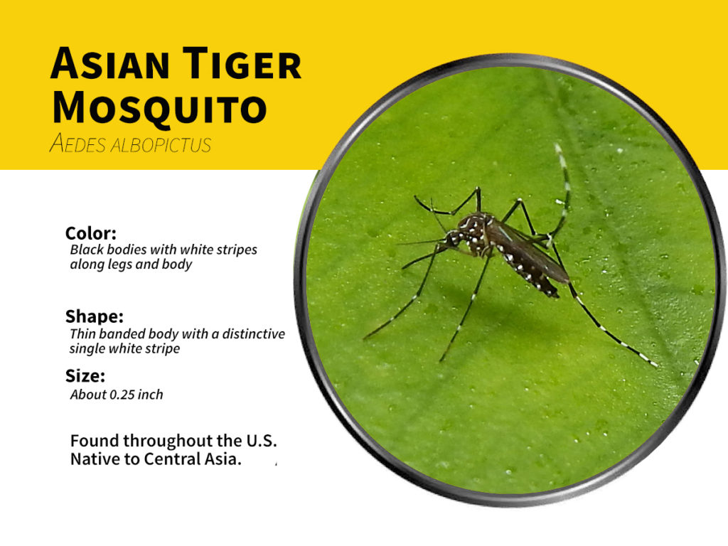 asian tiger mosquitoes explored