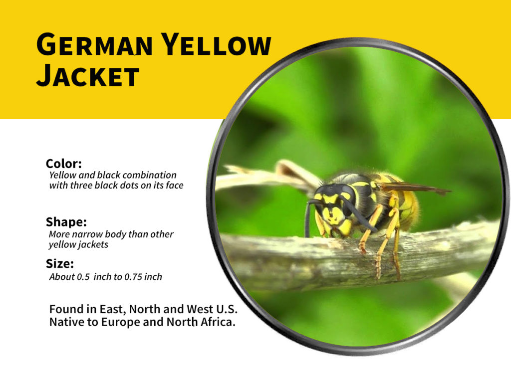 german yellow jackets explained